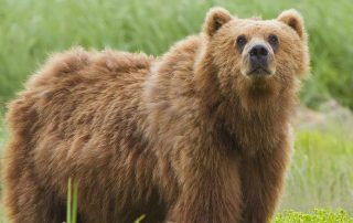 Beren gevaarlijk Kodiak Beer