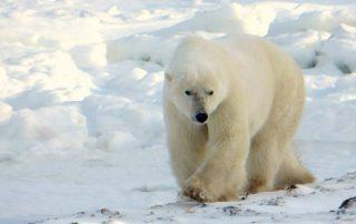 IJsberen spotten Chuchill Manitoba