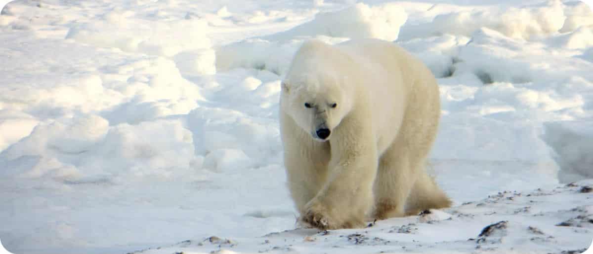 IJsberen spotten Churchill Manitoba