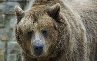 Soorten beren in Canada