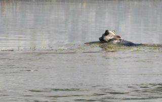 Grizzlyberen zwemmen kusteilanden