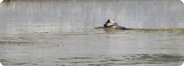 Grizzly's zwemmen kusteilanden