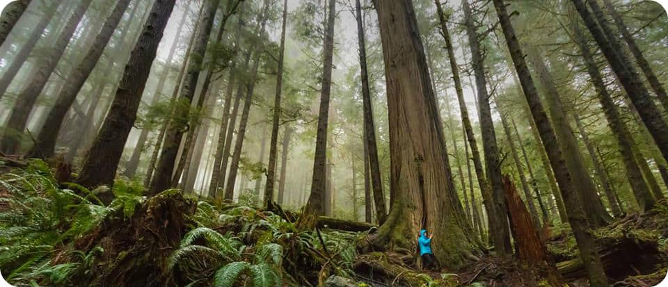 Port Renfrew Avatar Grove bomen