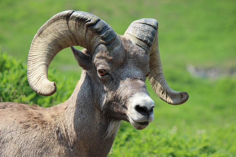 big horn sheep Jasper National park