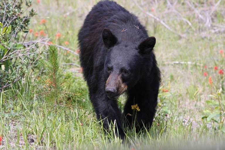 zwarte beer Jasper NP