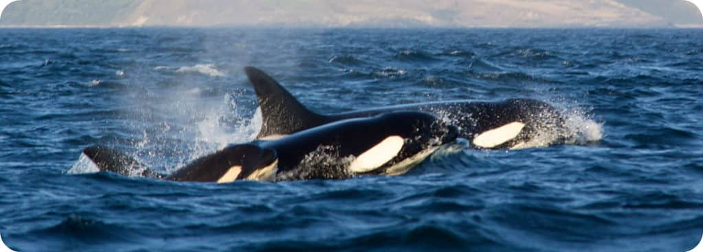 Walvis spotten orka Vancouver Island British Columbia