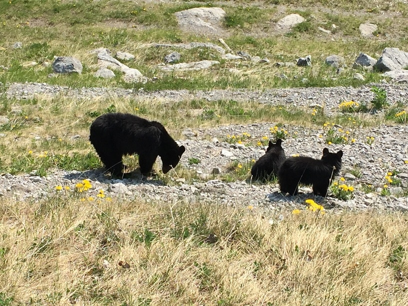 Zwarte Beer Met Cubs Banff National Park