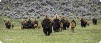 bizons Banff National Park Canada