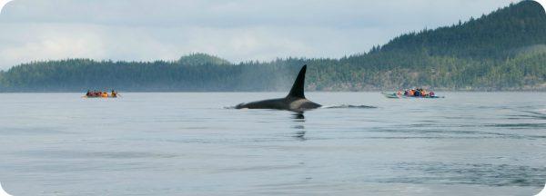 Salish Sea orka Vancouver Island