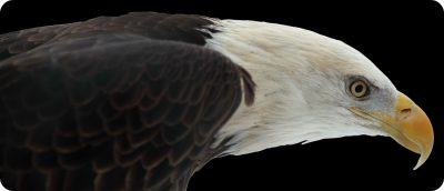 Bald Eagles spotten British Columbia Vancouver Island