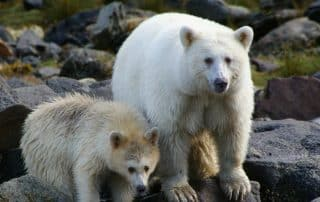 Kermode beer Spirit Bear British Columbia