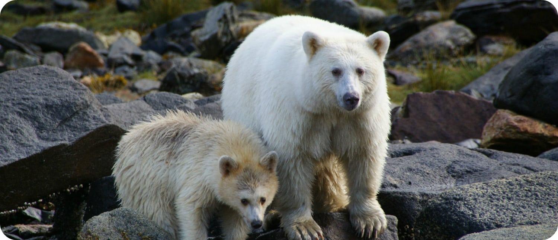 Kermode beer Spirit Bear British Columbia