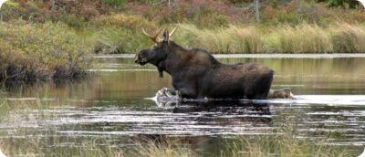 waar kun je elanden spotten in Canada