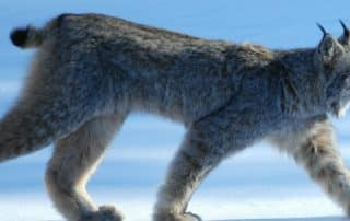 Canadese Lynx wilde kat Canada