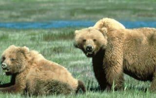 berenhabitat leefgebied zwarte beer grizzlybeer