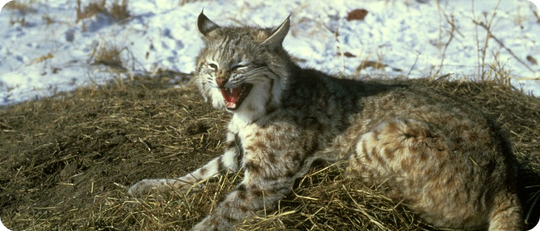 bobcat Canada