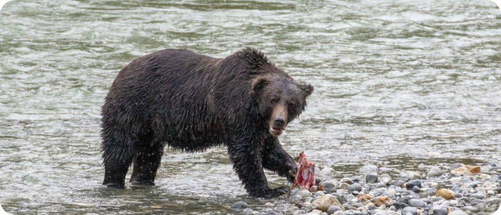 vrouwelijke grizzlybeer aangereden Banff National Park