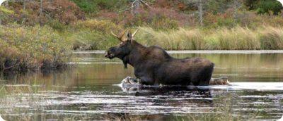 moose elanden spotten Canada