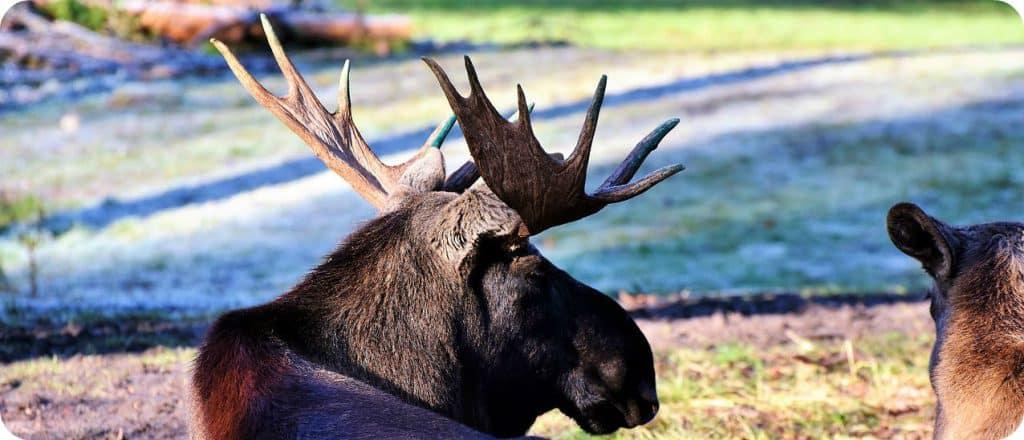 elanden paartijd rutting season Canada