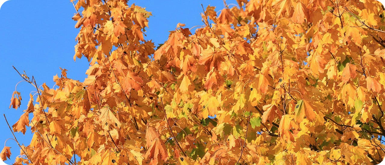 Comfort Maple oudste esdoorn Canada 500 jaar oud