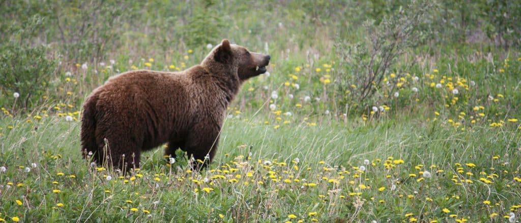 grizzly berenseizoen Banff National Park