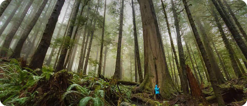 Port Renfrew Avatar Grove bomen