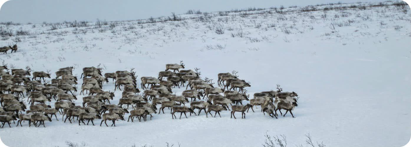 Canadese rendieren migratie Inuvik Yukon