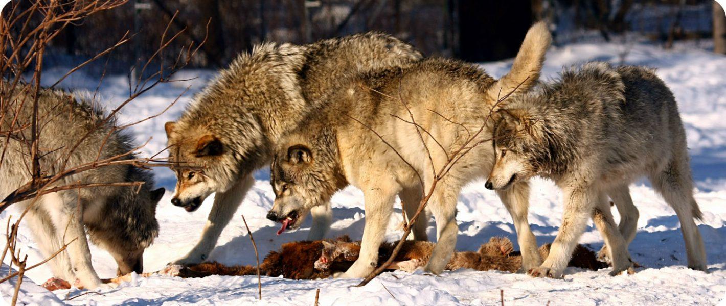 wolven spotten in Canada