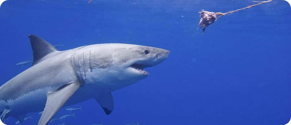 witte haai Minas Basin Nova Scotia