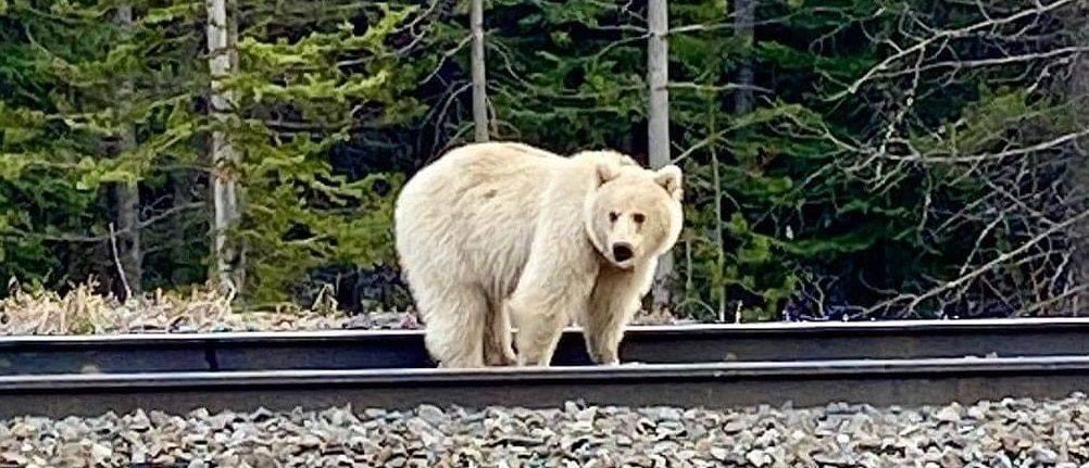 Nakoda witte grizzlybeer Yoho National Park Banff